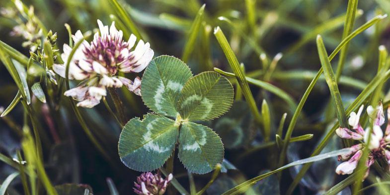 Flowring clover