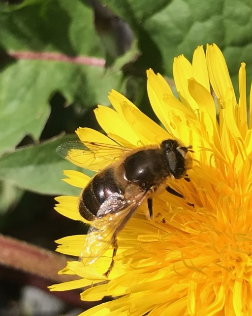 Native honeybee on dandelion